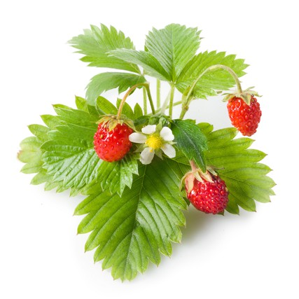 Wild Strawberry plant large4000