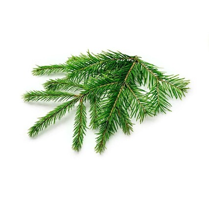 Spruce_plant_1200