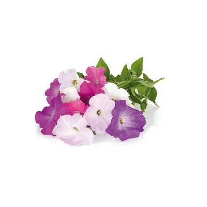 petunia_plant_large_preview620