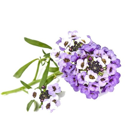Sweet Alyssum plant large1000
