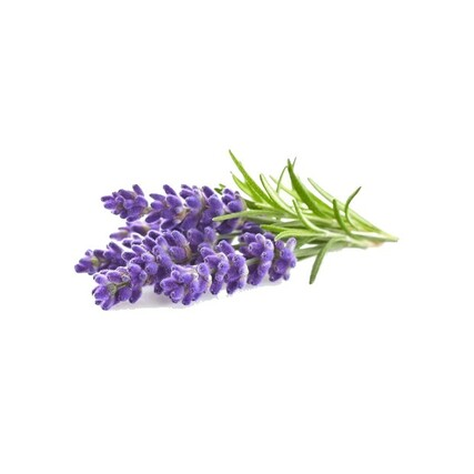 Lavender plant large_preview620