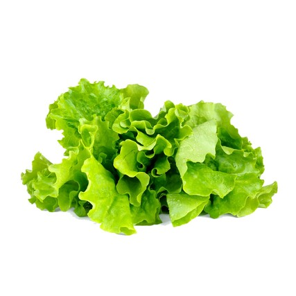 Green Lettuce plant large1200