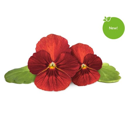 red-pansy-1200x1200-new-sticker